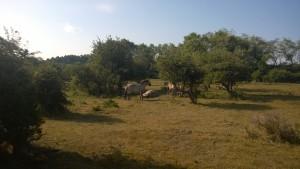 Wild Horses in the Kennemerduinen